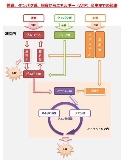 糖質、タンパク質、脂質からエネルギー(ATP)産生までの経路