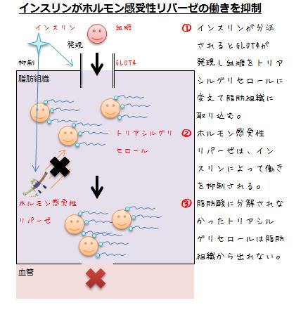 インスリンがホルモン感受性リパーゼの働きを抑制