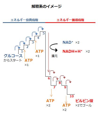 解糖系のイメージ
