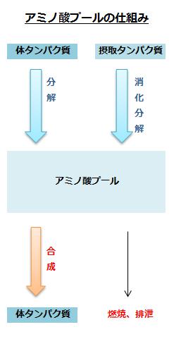 アミノ酸プールの仕組み