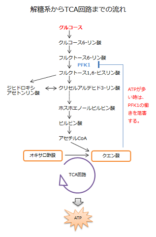 解糖系からTCA回路までの流れ
