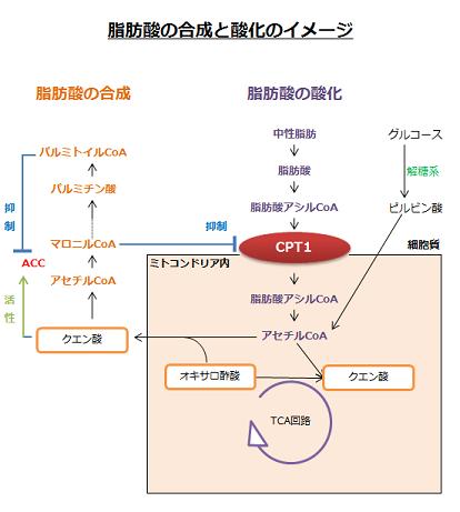 脂肪酸の合成と酸化のイメージ