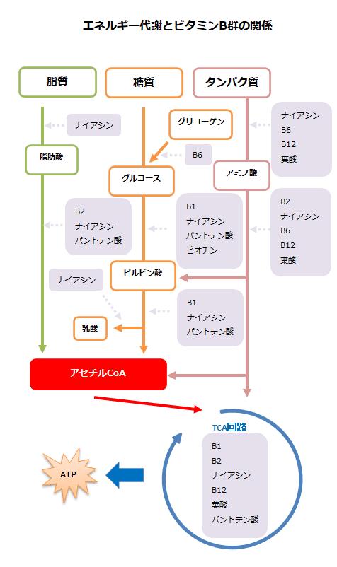 エネルギー産生とビタミンB群の関係